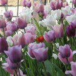 Tulipani al Duomo di Bergen (purtroppo chiuso)