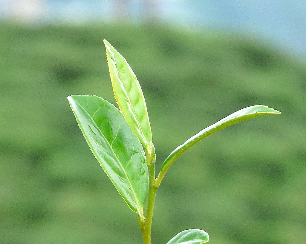 Tè del Darjeeling
