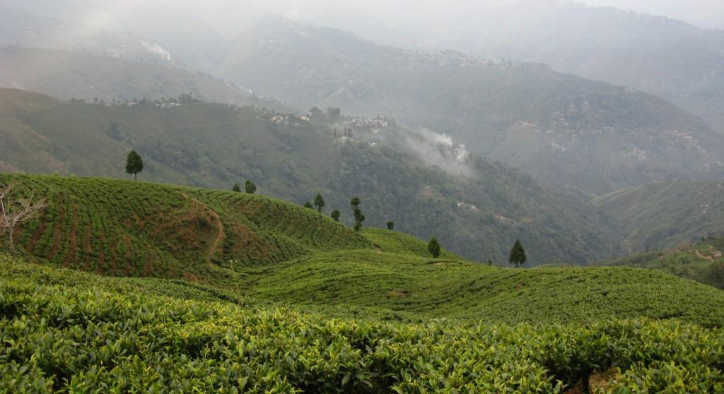 Viaggio tra i giardini del Darjeeling con un esperto