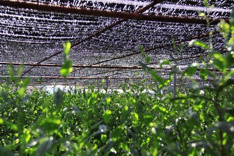 Come si coltiva il tè Matcha?