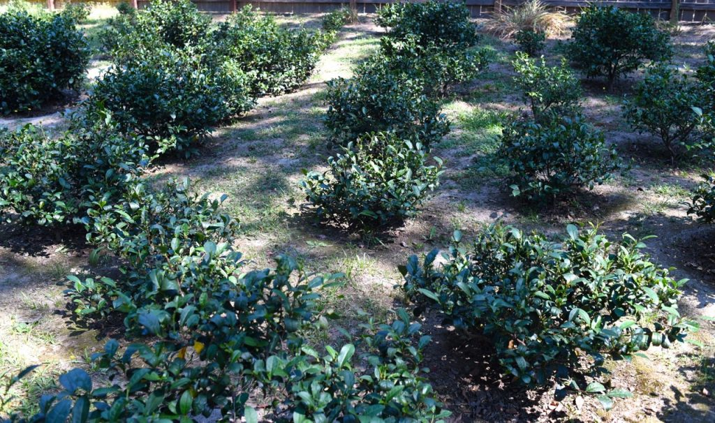 Visita alla piantagione di tè in California: Golden Feather Tea