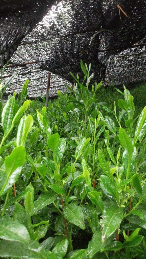 Copertura indiretta delle foglie di Matcha per mantenere un sapore dolce