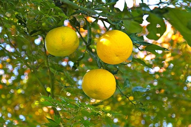 Lo yuzu è un agrume orientale ricco di vitamina C