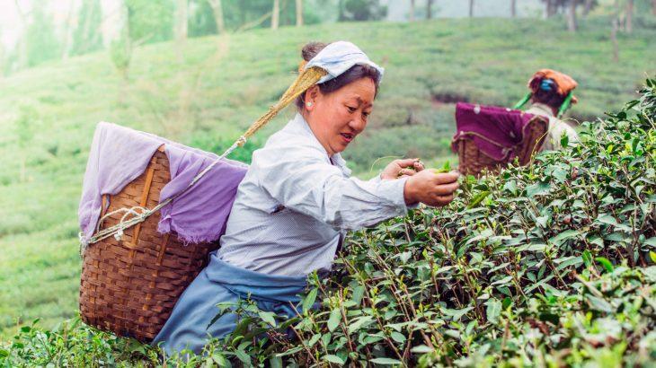La giornata internazionale del tè è dedicata ai diritti dei lavoratori