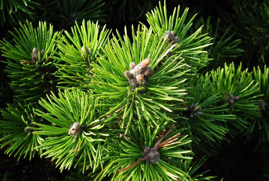 La tisana al pino mugo ha proprietà espettoranti