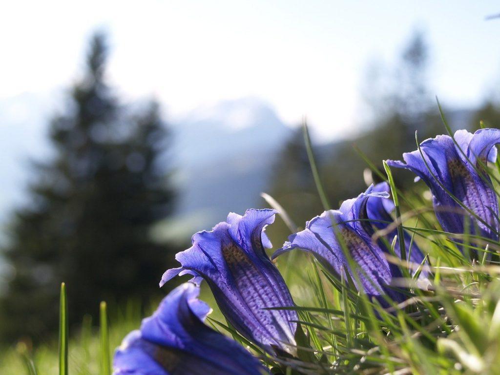 La radice di genziana è un rimedio naturale molto usato in montagna